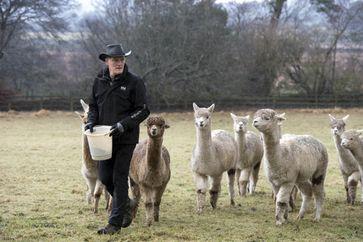 """Joe Phelan inmitten seiner Alpakas im irischen Wicklow. Bild: """"obs/Irland Information Tourism Ireland/K2Alpacas"""""""