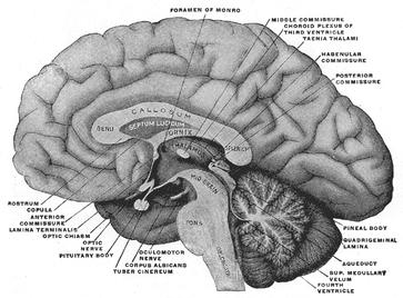 Lateraler Schnitt durch das Gehirn