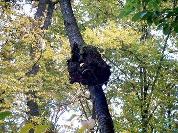 Seltsame Krebsknoten an Bäumen können verschiedene Gründe haben. Eine häufige Ursache ist eine geopathische Störzone