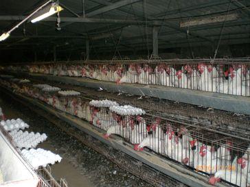 Industrielle Hühnerhaltung: Legebatterie
