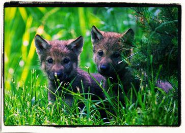 Junge Wölfe (Symbolbild)