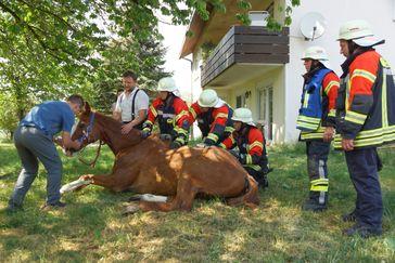 Zur Verbesserung der Atmung wurde das Pferd aufgerichtet und gleichzeitig vom Tierarzt behandelt. 30 Minuten später konnte der Wallach aus eigener Kraft wieder aufstehen.