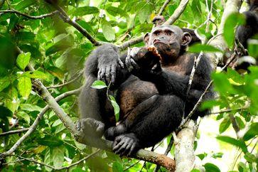 Schimpanse im Loango Nationalpark in Gabun beim Verzehr einer Schildkröte. Quelle: Foto: Erwan Theleste (idw)