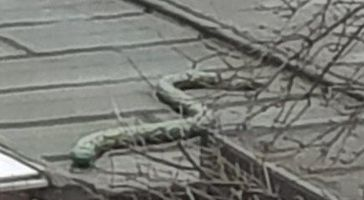 Einfach tierisch! - Regungslose Python beschäftigt die Wittener Polizei