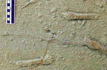 Handabdrücke von azhdharchiden Flugsauriern in einem Sandstein der spätesten Kreidezeit. Fundort: RaQuelle: Bild: Wolfgang Stinnesbeck (idw)