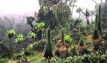 Pflanzen tropischer Hochgebirge (hier Ruwenzori) sind jede Nacht Frösten ausgesetzt.