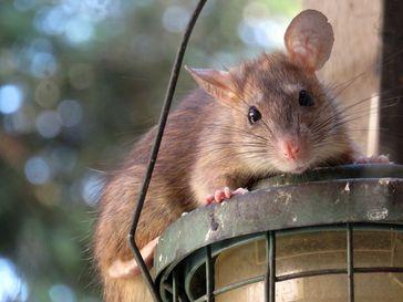 Ratte (Symbolbild)