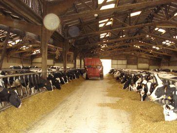 Holstein-Milchkühe