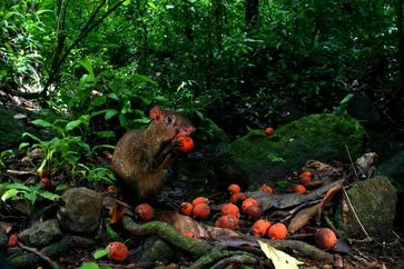 Agouti mit einer Palmfrucht im Tropenwald Panamas. Quelle: Christian Ziegler (idw)