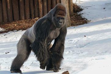 Silberrücken Kidogo im Krefelder Zoo Bild:     Zoo Krefeld