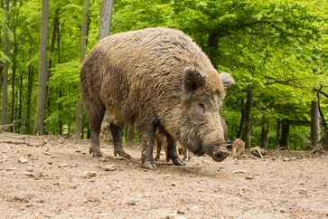 Ausgewachsenes Wildschwein