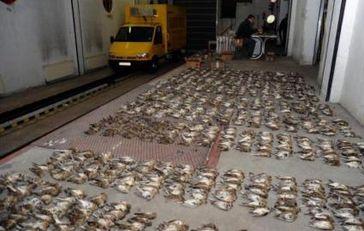 """Das Foto zeigt einen Teil der in Nagylak beschlagnahmten Singvögel. Im Hintergrund ist der gelbe Kühltransporter zu erkennen. Die Verwendung dieses Bildes ist für redaktionelle Zwecke honorarfrei. Veröffentlichung bitte unter Quellenangabe: """"obs/Komitee gegen den Vogelmord e. V."""""""