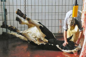 Schlachtung einer Kuh