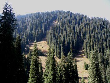 Sektion Picea Serie Smithianae: Schrenks Fichte (Picea schrenkiana)