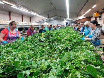 """Erdbeeren aus Deutschland - doch die Stecklinge kommen jedes Frühjahr aus den Niederlanden. Bild: """"obs/ZDF/Katarina Schickling"""""""
