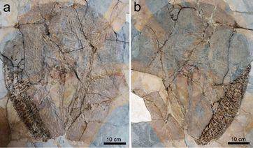 Eines der drei Fossilien von Lessiniabatis aenigmatica (MNHN F.Bol.566) aus der berühmten Fossilfundstelle von Monte Bolca (Italien), das als Platte und Gegenplatte erhalten ist. Quelle: © Giuseppe Marramà (idw)