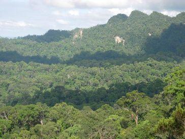 "Intakter Regenwald in Zentral Kalimantan (geplantes Schutzgebiet ""Heart of Borneo"") Quelle: Foto: C. Brühl/Uni Landau (idw)"