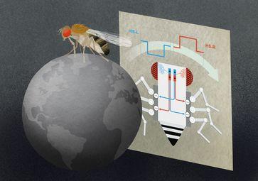 HS-Zellen im Fliegenhirn reagieren auf großflächige, horizontale Bewegungen der Umwelt – und können mit diesen Informationen die Fliegenbeine auf der rechten oder der linken Körperseite bremsen Quelle: (c) MPI für Neurobiologie, Julia Kuhl (idw)