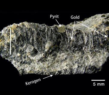 Kohleartige, vor allem aus Kerogen bestehende Lage aus Sedimentgesteinen des Witwatersrand-Beckens in Südafrika – ein extrem selten erhaltener Rest von Matten erster photosynthetisch aktiver Mikroben Quelle: (Foto: Hartwig Frimmel) (idw)