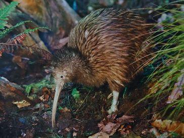 Ein Kiwi in freier Natur – das wohl bekannteste Tier Neuseelands.