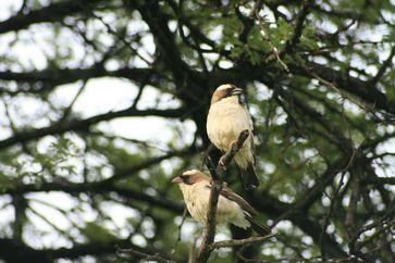 Mahaliweber-Pärchen, oben das Männchen, unten das Weibchen Quelle: Foto: Dr. Cornelia Voigt (idw)