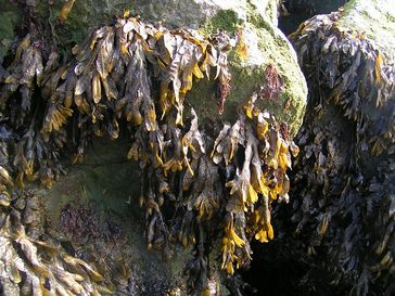 Von Seetang bedeckte Felsen