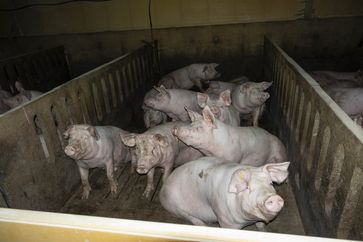 Viele der Tiere weisen zum Teil sehr schwere Verletzungen auf: Unbehandelte, blutige Verletzungen, riesige Tumore und Abszesse sind zu sehen.
