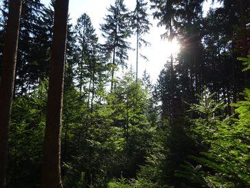 """So könnte er aussehen, der klimastabile Zukunftswald: Vielfalt mit mehreren Baumarten in Mischbeständen unterschiedlichen Alters, nachhaltig bewirtschaftet.  Bild: """"obs/PEFC Deutschland e. V."""""""