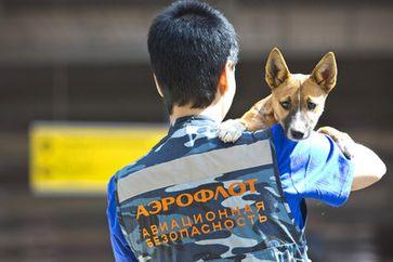 Aeroflot registriert eigene Rasse von Spürhunden