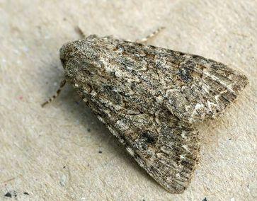 Meldenflureule: Als Vertreter der Eulenfalter ein typischer Nachtfalter