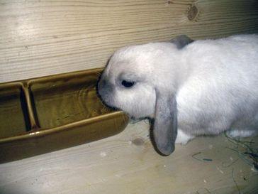 Die Offentränke eignet sich besser für Kaninchen.