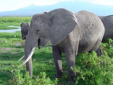 Wie Elefanten Infraschall-Töne produzieren, fand ein Team um ForscherInnen der Universität Wien heraus. (Im Bild: Afrikanische Elefanten im Amboseli National Park in Kenia) Quelle: Foto: Department für Kognitionsbiologie, Universität Wien (idw)