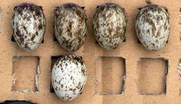 Eines der fünf Eier in diesem Gelege ist anders gemustert. Dies findet man häufig in Gelegen von Fel Quelle: Bild: Herbert Hoi / Vetmeduni Vienna (idw)