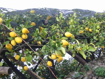Zitronenanbau (Symbolbild)