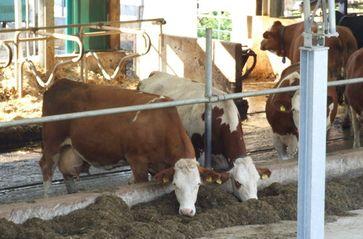 In einem Milchbetrieb mit Silagefütterung produziert man nur wirtschaftlich, mit der Zugabe von Eiweiß und Kohlehydraten als Kraftfutter. Gensoja ist der billigste und am meisten verwendete Eiweißrohtoff. Mit künstlicher Heutrocknung ist dies überflüssig. Bild: Umweltbund e.V.
