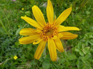 Die Heilpflanze Arnika (Arnica montana) ist in Norddeutschland bereits fast ausgestorben. Quelle: Foto: V. Duwe / Botanischer Garten und Botanisches Museum Berlin (idw)