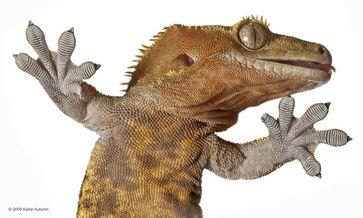 Winzige Härchen an den Zehen ermöglichen es dem Gecko, an der Decke zu laufen. Foto: Kellar Autumn Quelle:  (idw)