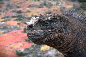 Eine bisher unentdeckte Unterart von Leguanen auf den Galápagos-Inseln - die Godzilla-Meerechse (Amblyrhynchus cristatus godzilla) Quelle: Amy MacLeod/TU Braunschweig (idw)