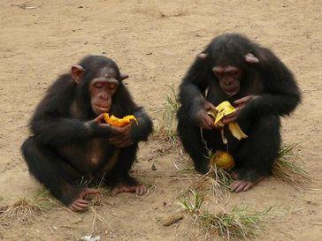 """Junge Schimpansen beim Verspeisen ihrer """"Beute"""" nach einer Fütterung. Auch gemeinsam erlangte Ressourcen werden von zwei Schimpansen nur selten geteilt. Bild: Felix Warneken"""