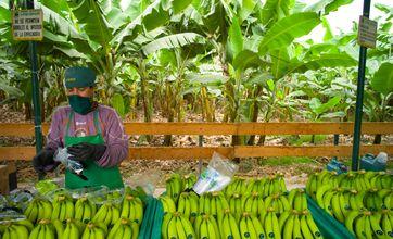 "Bananen-Kooperative in Peru / Bild: ""obs/TransFair e.V./Santiago Engelhardt / Fairtrade"""