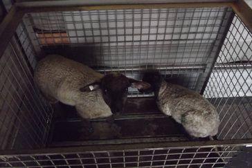 Die beiden Schafe während des Transports