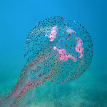 Die Leuchtqualle (Pelagia noctiluca), auch Feuerqualle genannt, ist eine Schirmqualle aus der Familie der Pelagiidae und gehört zu den wenigen europäischen Quallen, deren Nesselkapseln die menschliche Haut durchdringen können.