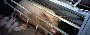 Schluss mit der grausamen Käfig-Tierhaltung in der EU!