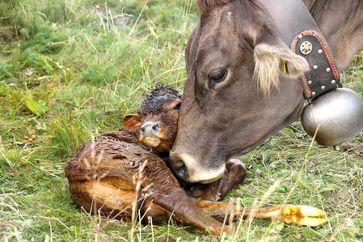 Kuh mit frisch geborenem Kalb