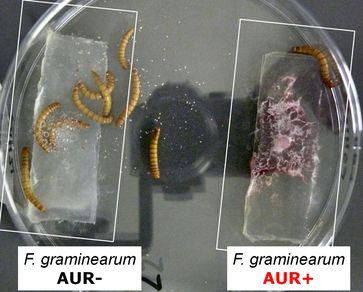 Mehlwürmer, denen der Schimmelpilz Fusarium graminearum mit Aurofusarin (rechts) und seine Mutante ohne Aurofusarin (links) angeboten wurde, bevorzugen die Mutante.