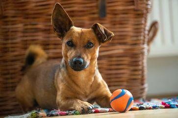 Körper und Geist auf Trab bringen - auch bei Hunden Bild: Bundesverband für Tiergesundheit e.V. Fotograf: Foto: Shutterstock