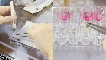 Eine Biopsiestanze bringt das biopolymere trägermaterial in die richtige form (links). In Zellkultur Quelle: © Fraunhofer EMB (idw)