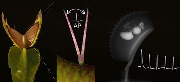 Beim Fangen und Verdauen ihrer Beute zählt die Venusfliegenfalle immer wieder elektrische Signale (AP, Aktionspotentiale). Diese Vorgänge werden an der Uni Würzburg erforscht. Quelle: (Bild: Sönke Scherzer / Universität Würzburg) (idw)