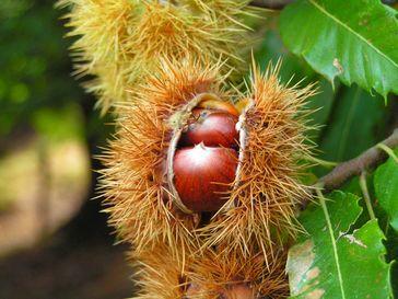 Geöffnete Cupula mit Früchten