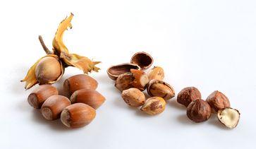 Reife Früchte der Haselnuss, ganz rechts nach der Trocknung